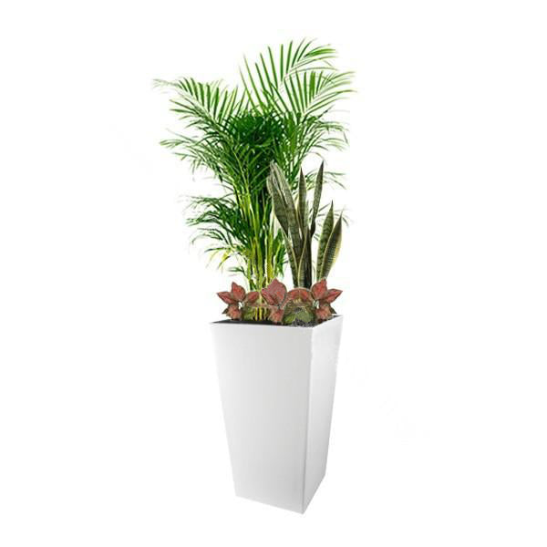 Yellow Palm, Sansevieria, Aglaonema Mix Planting in Square Cylinder Series 39cm in white
