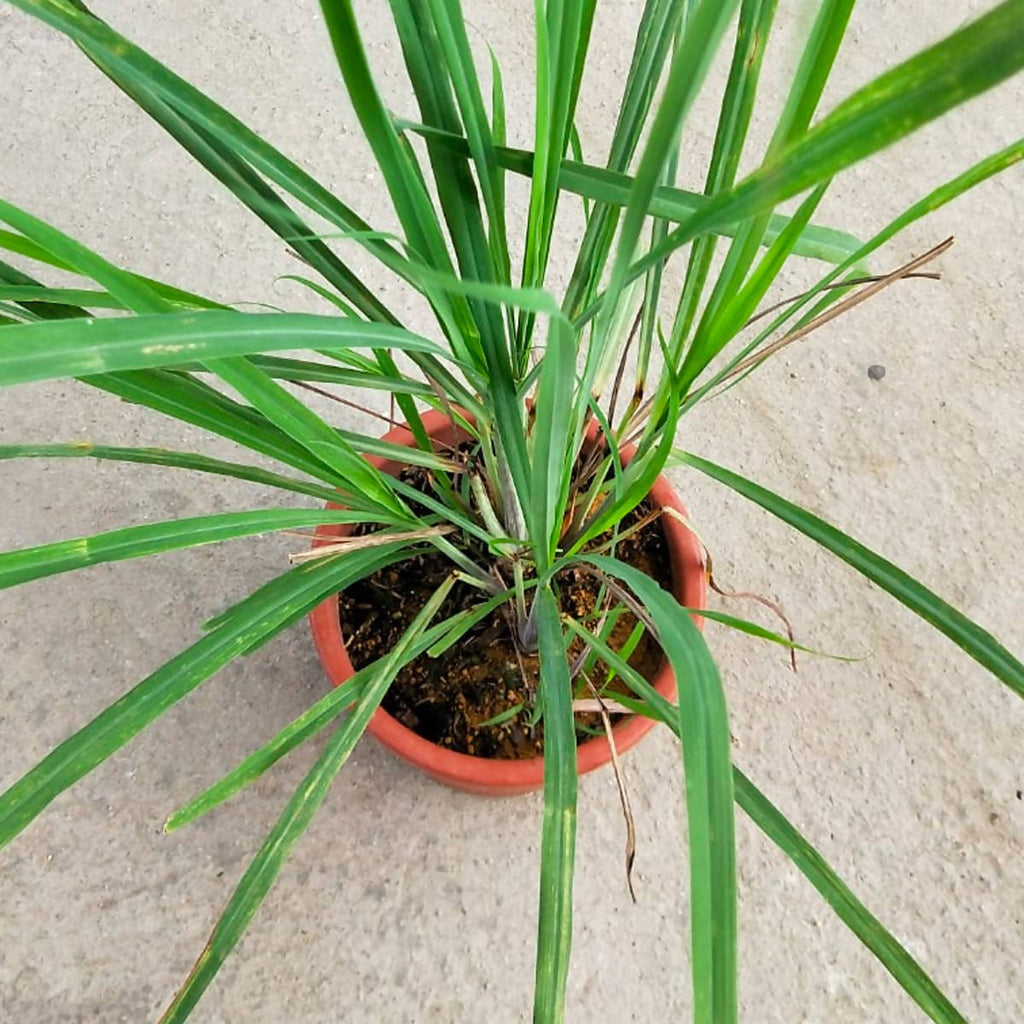Cymbopogon citratus, Lemon grass (0.6mh)