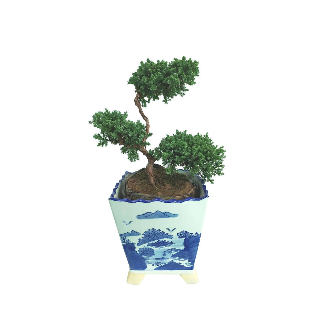 Christmas Cypress Bonsai in Ceramic Pot (0.35m)