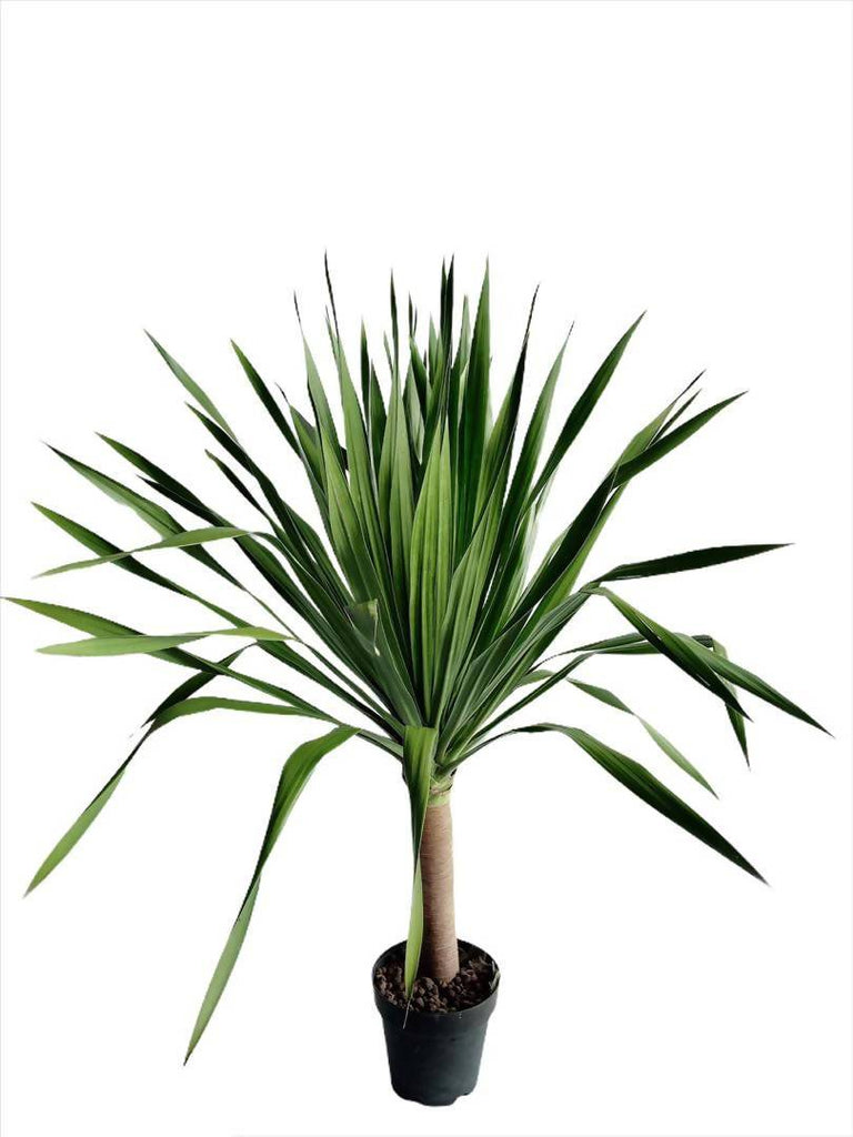Dracaena Draco 'Dragon Tree' (2m)