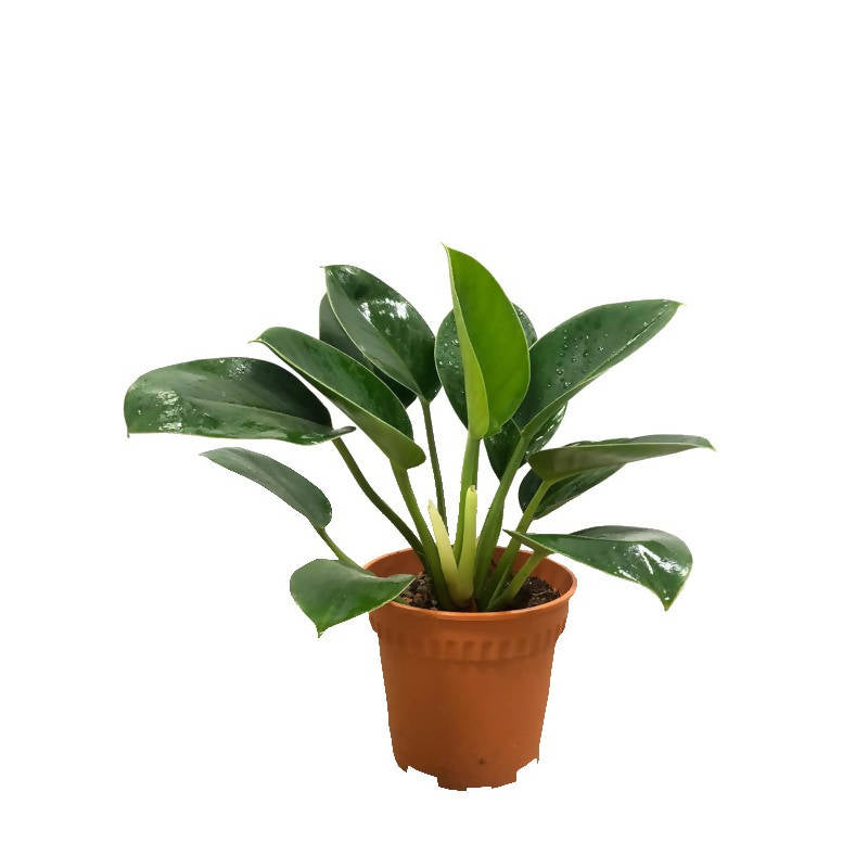 Philodendron Green Princess (0.3m)