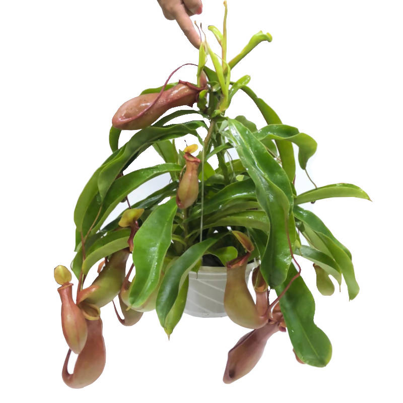 Nepenthes Red x Rafflesiana, Raffles' Pitcher-plant in hanging Pot (0.3m)