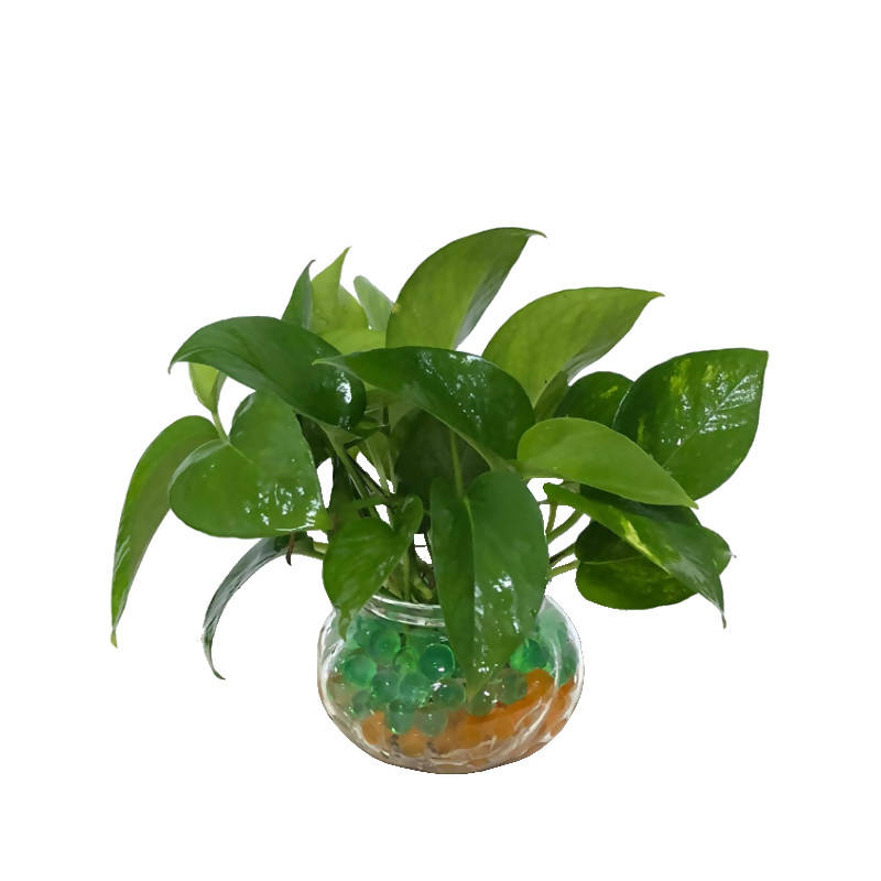 Epipremnum aureum, Money Plant in Glass Pot (0.18m)