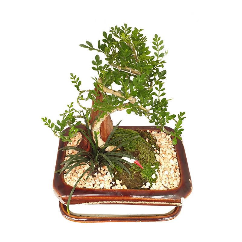 Feroniella Lucida, Mini Bonsai (0.15m)