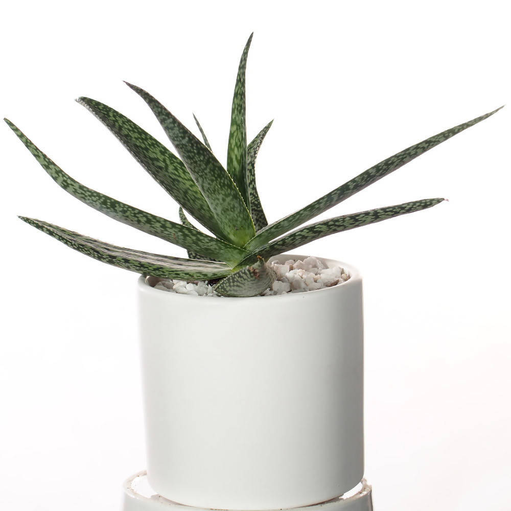 Aloe variegated (雪花芦荟) in ceramic pot