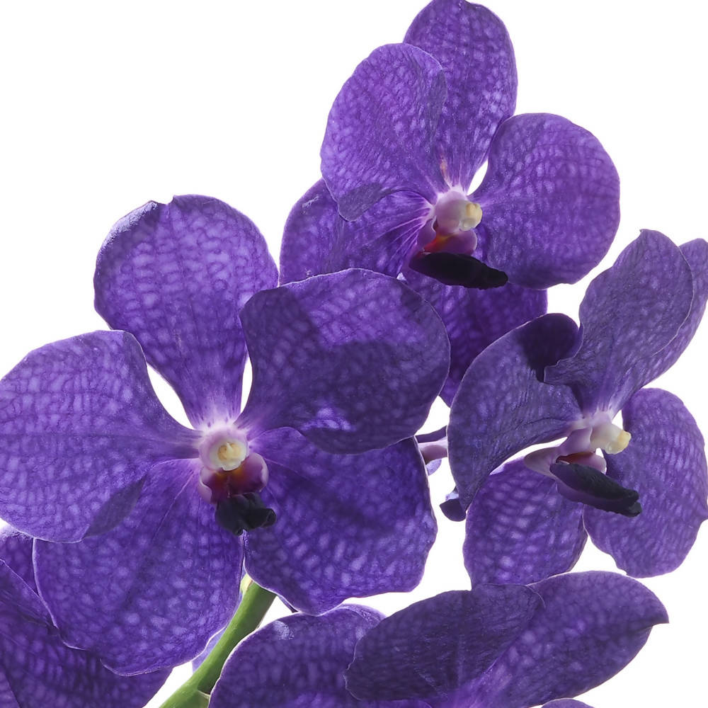 Vanda Pachara Delight in hanging basket (0.3mH)