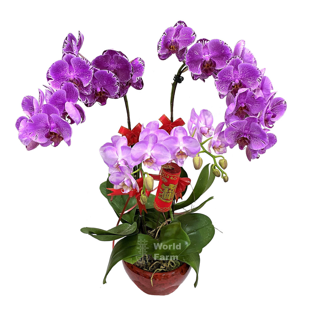 3-in-1 Phalaenopsis, Multi-coloured in Ceramic Pot