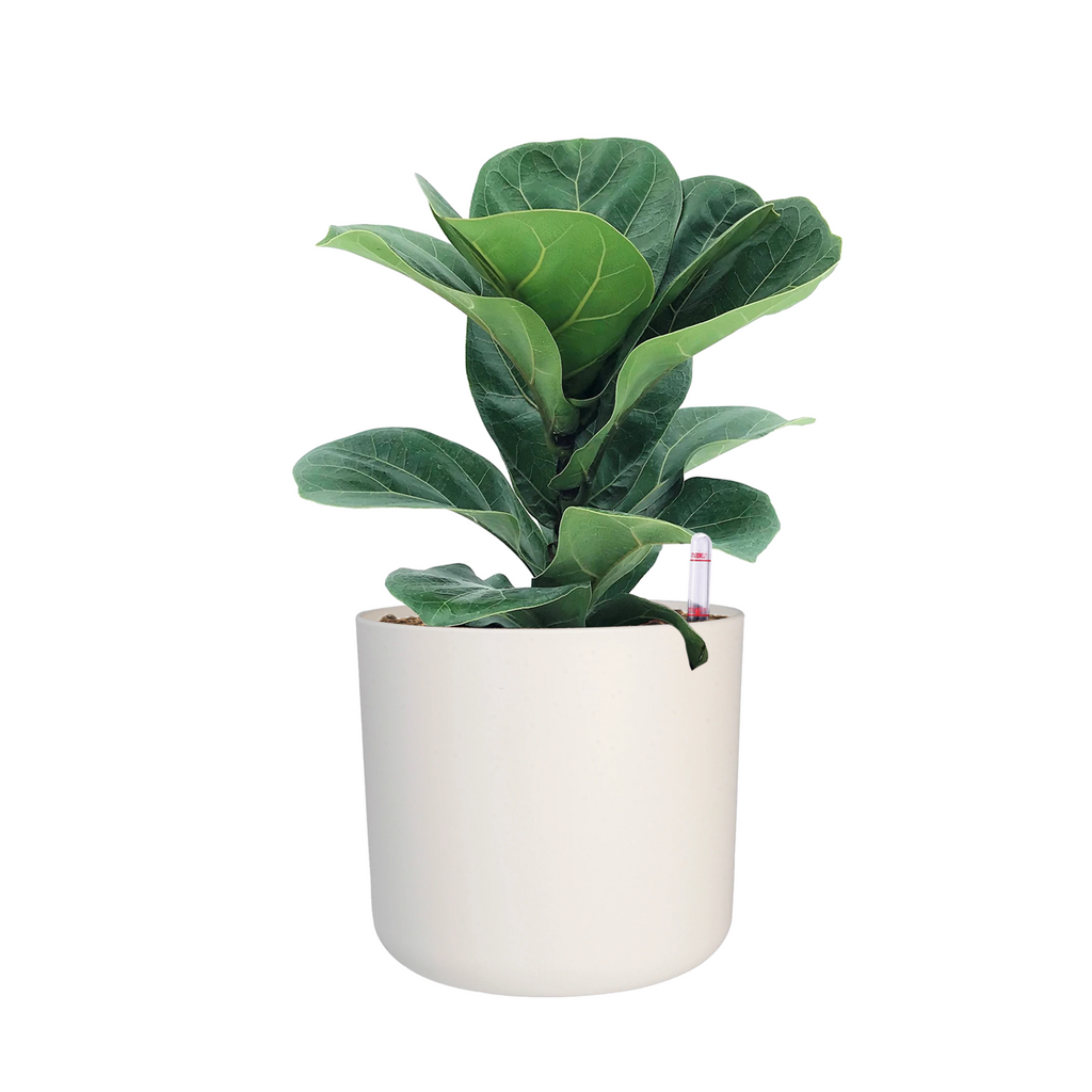B. for Soft 18cm in White with Ficus Lyrata: IH