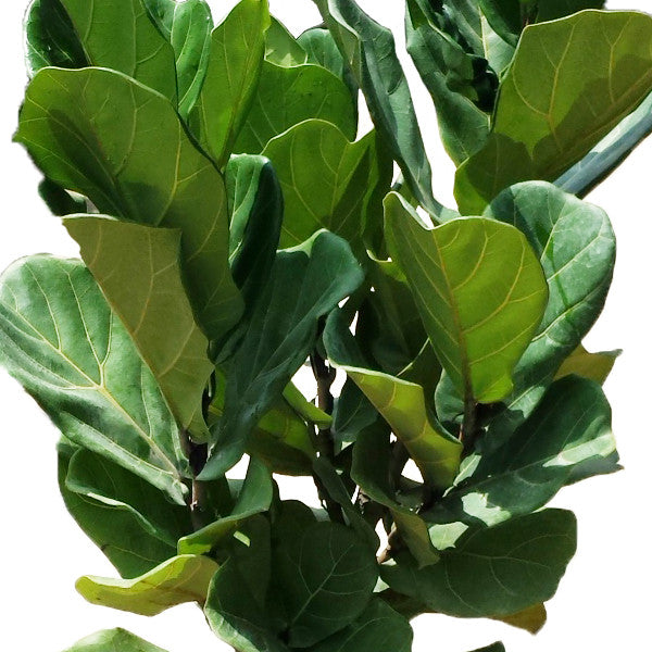 Ficus Lyrata, Fiddle-leaved Fig (1.5m)