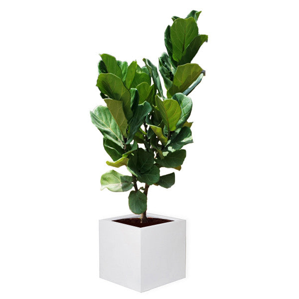 FIBREGLASS PLANTER SQUARE 40CM white in Ficus Lyrata