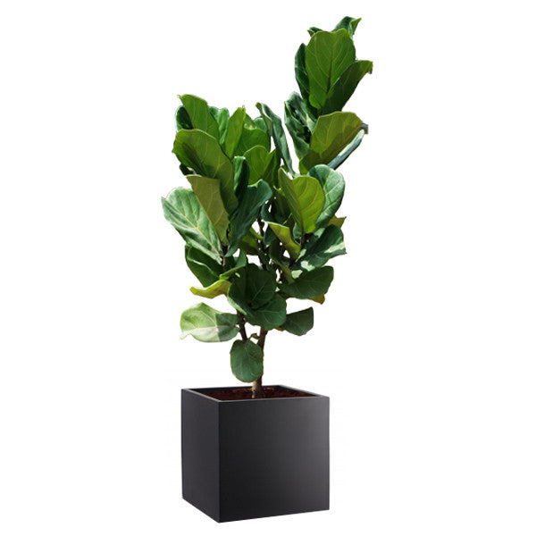 FIBREGLASS PLANTER SQUARE 40CM black in Ficus Lyrata