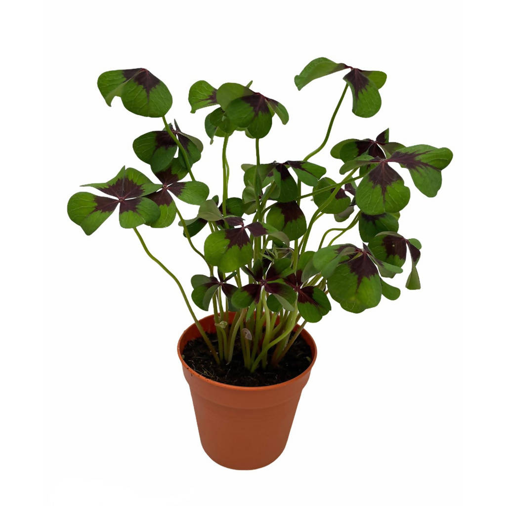 "Oxalis Tetraphylla ""iron cross"" (0.25cmH)"