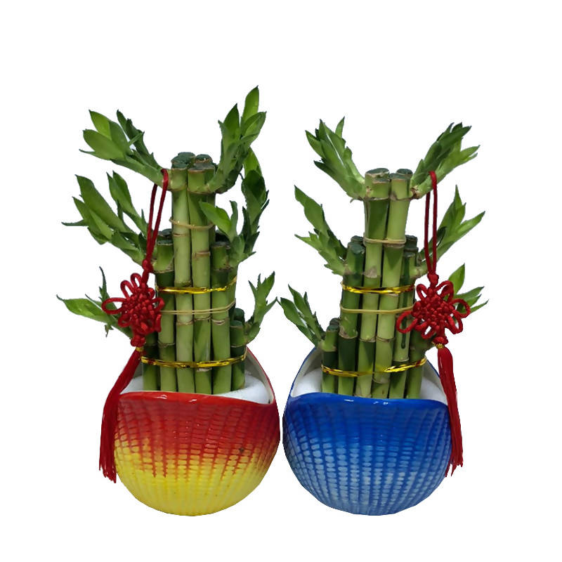 Lucky Bamboo Bundle - 3 Layer Lucky Bamboo Plants (0.25m)