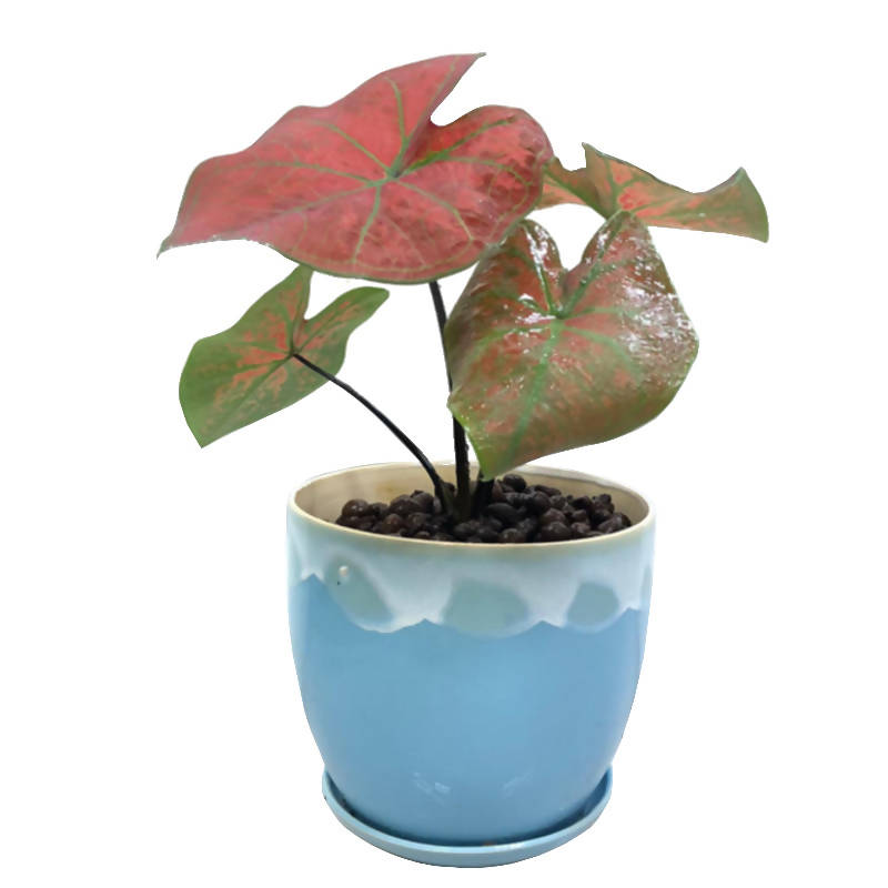 Caladium New Wave, Caladium 'Bubble' in Blue Ceramic Pot