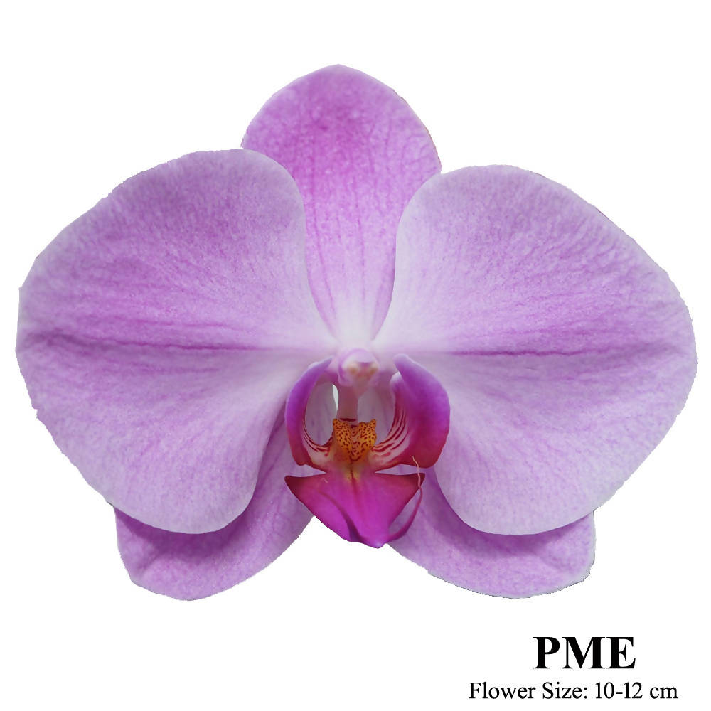 1 in 1 Phalaenopsis PME with pot