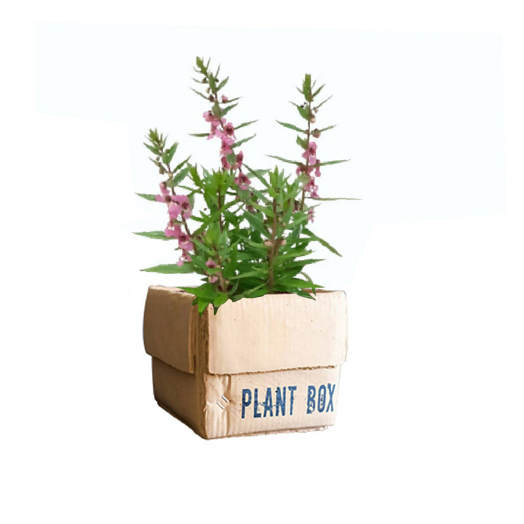 Angelonia Archangel Pink in Square Garden Plant Box
