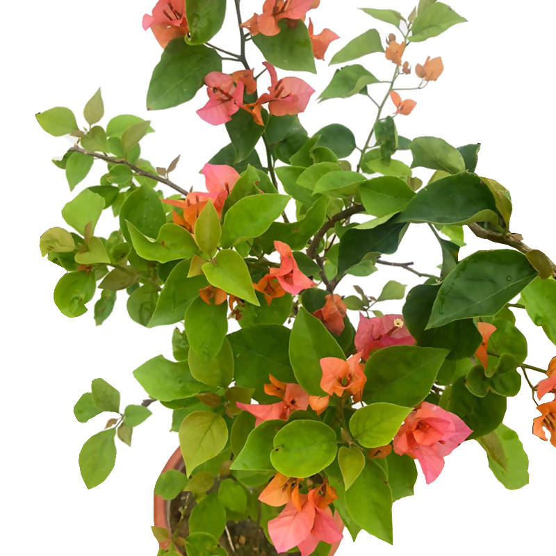 Bougainvillea × buttiana 'Mrs McClean', Bougainvillea × buttiana 'Hawaiian Orange' (0.7m)