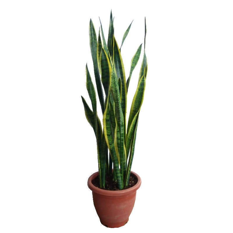 Dracaena trifasciata 'Laurentii', Mother-In-Law's Tongue, Sansevieria, Snake Plant (0.7m)