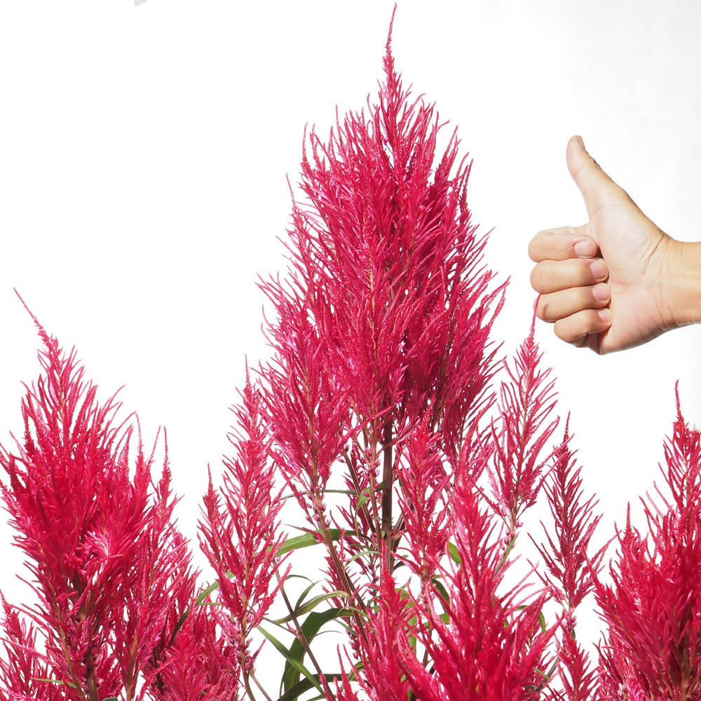 Celosia argentea, Feather Celosia or 凤尾