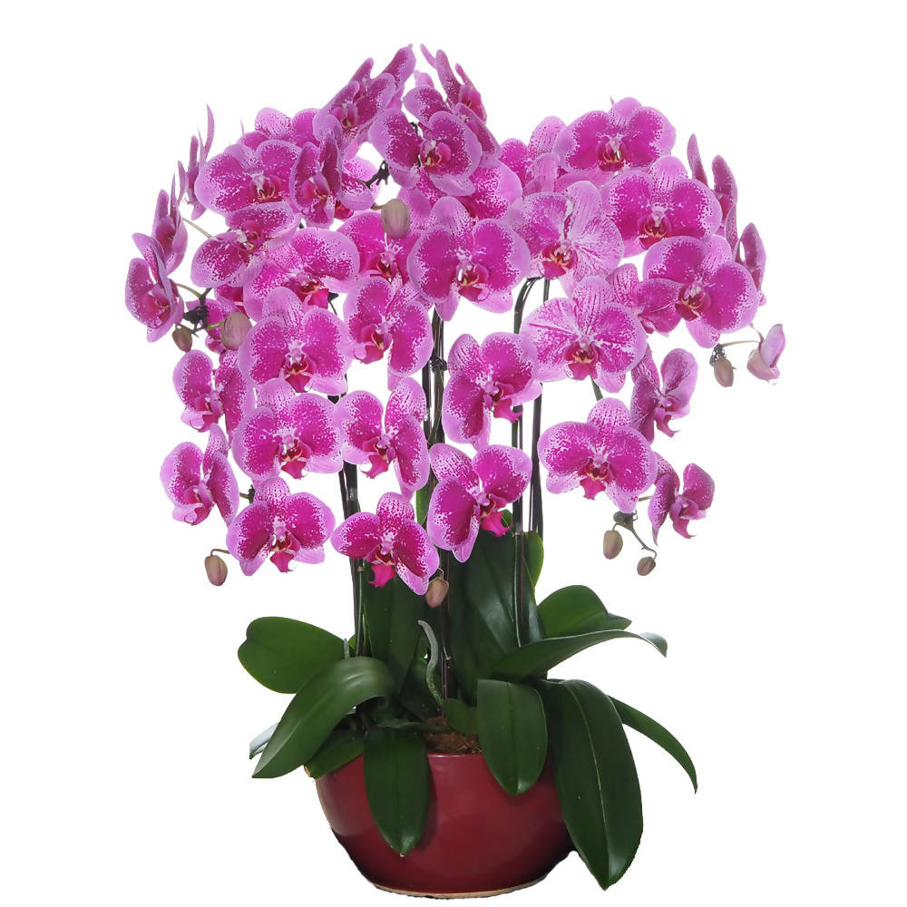 6 in 1 Phalaenopsis BFF with pot