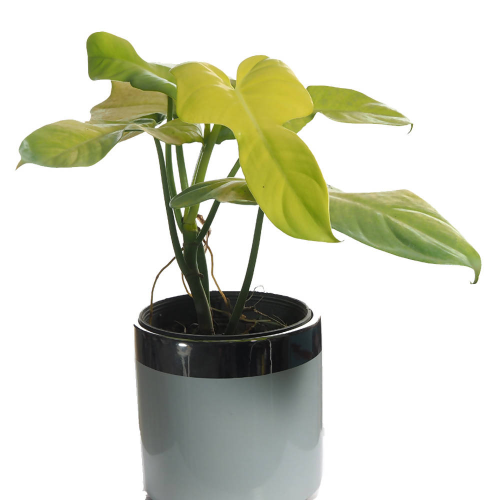 Philodendron bipennifolium, Gold Violin in white ceramic pot