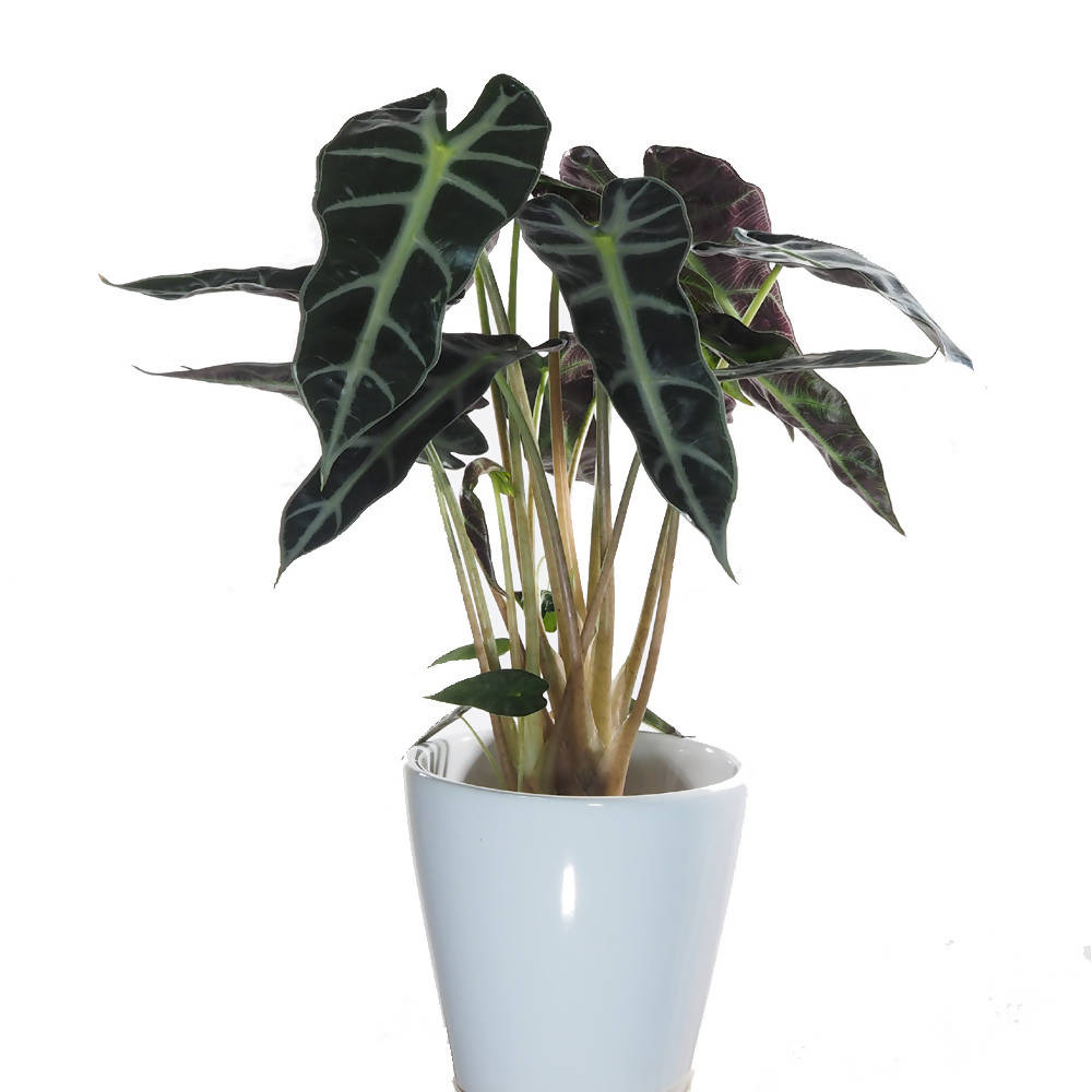 Alocasia Amazonica in white ceramic pot