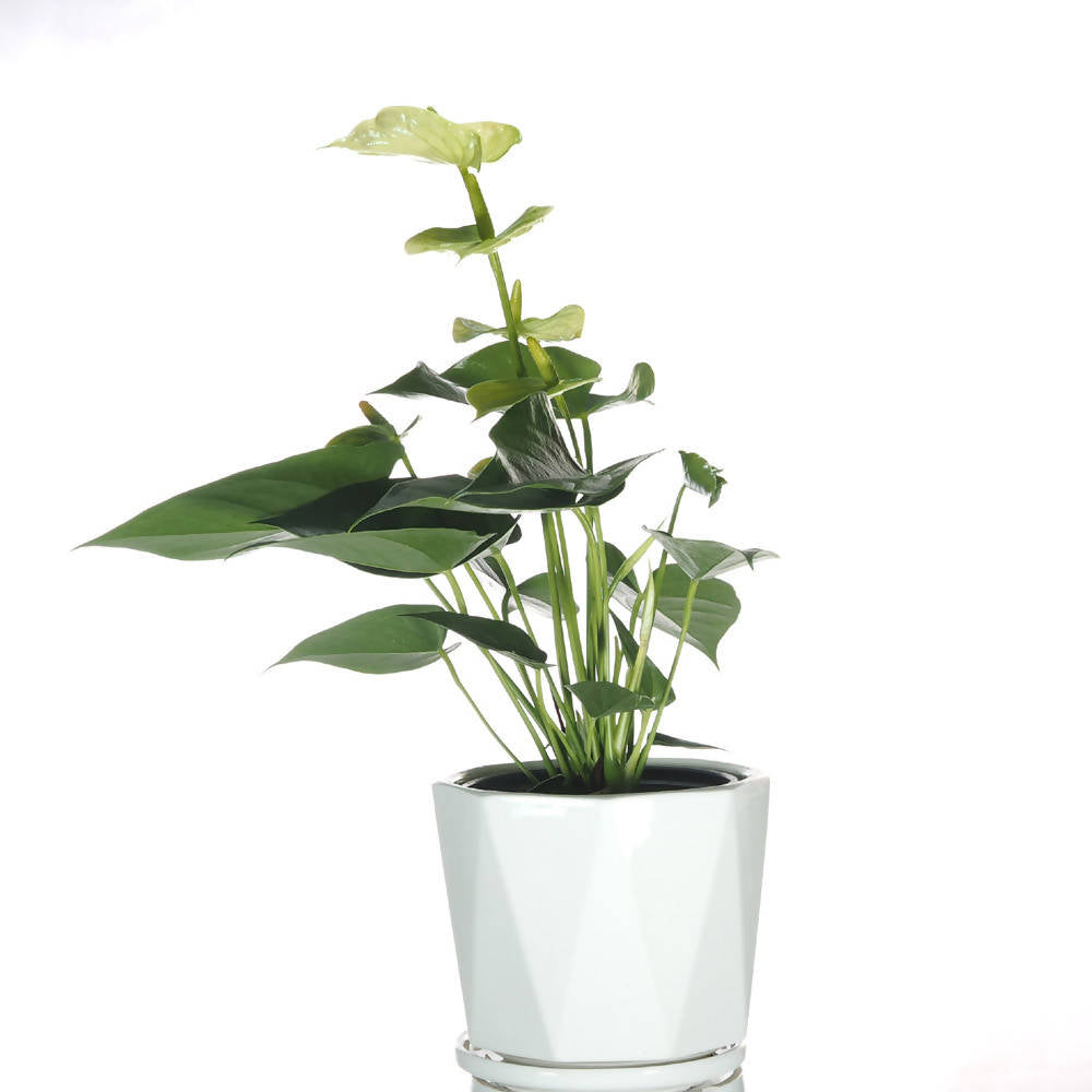 Anthurium Lemon Green in ceramic pot