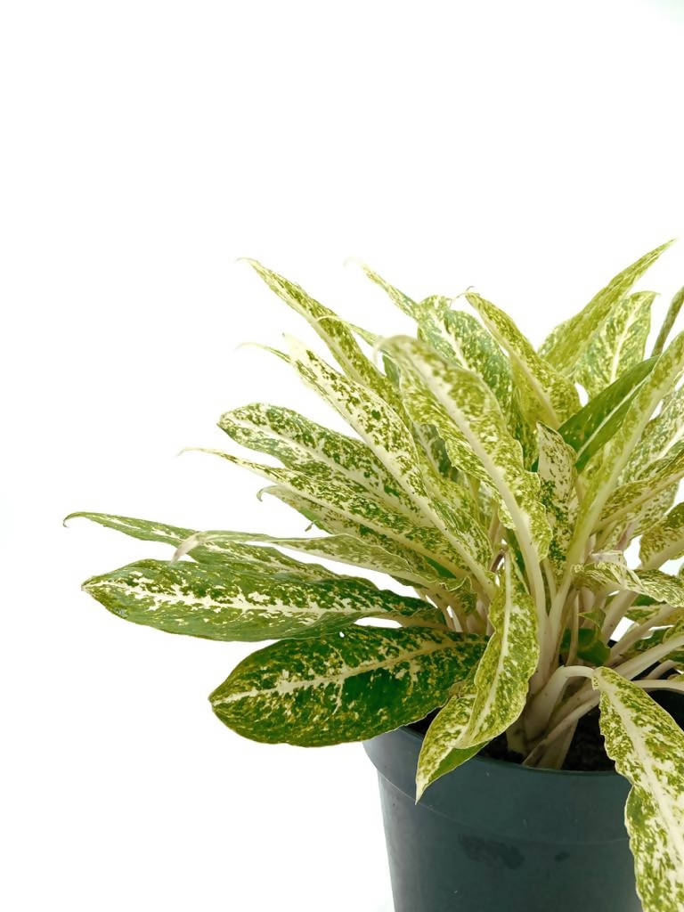 Aglaonema SPP Yellow (0.35m)