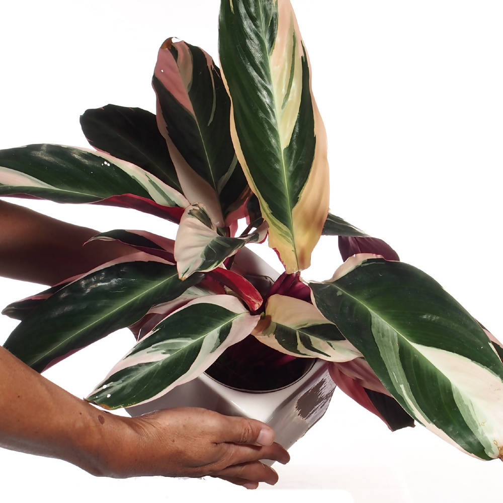 "Stomanthe sanguinea ""Tricolor"" in ceramic pot"