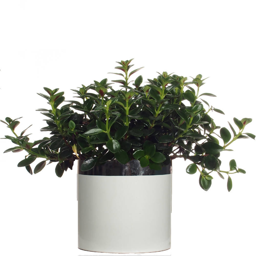 Nematanthus nervosus, Gold Fish Plant in ceramic pot