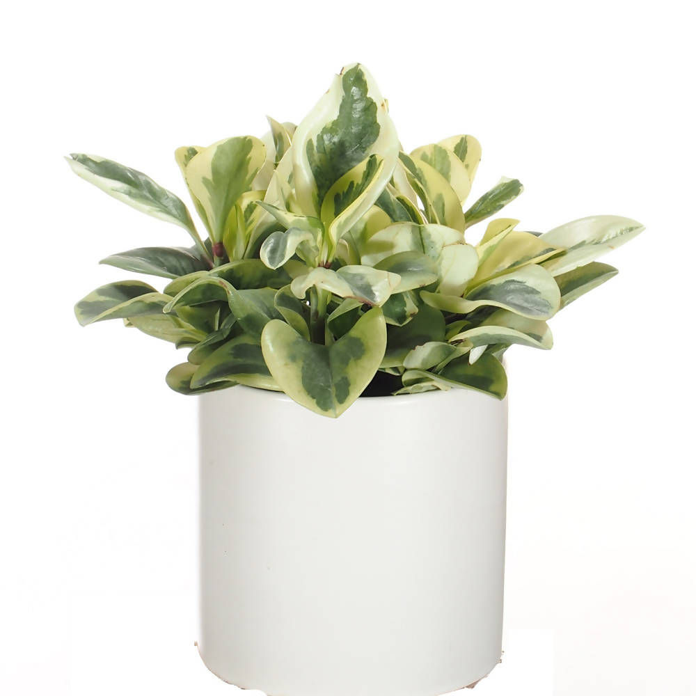 Peperomia obtusifolia 'Marble' in ceramic pot