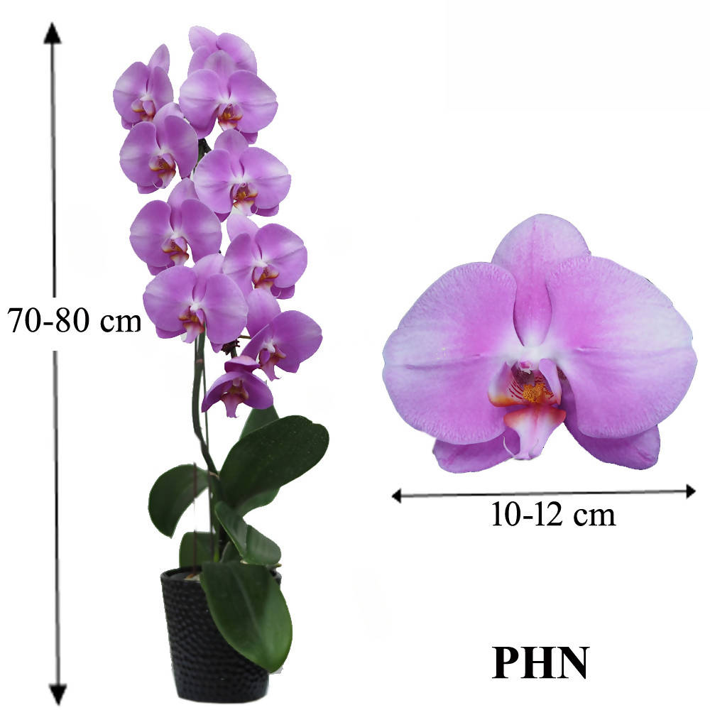 1 in 1 Phalaenopsis PHN with pot