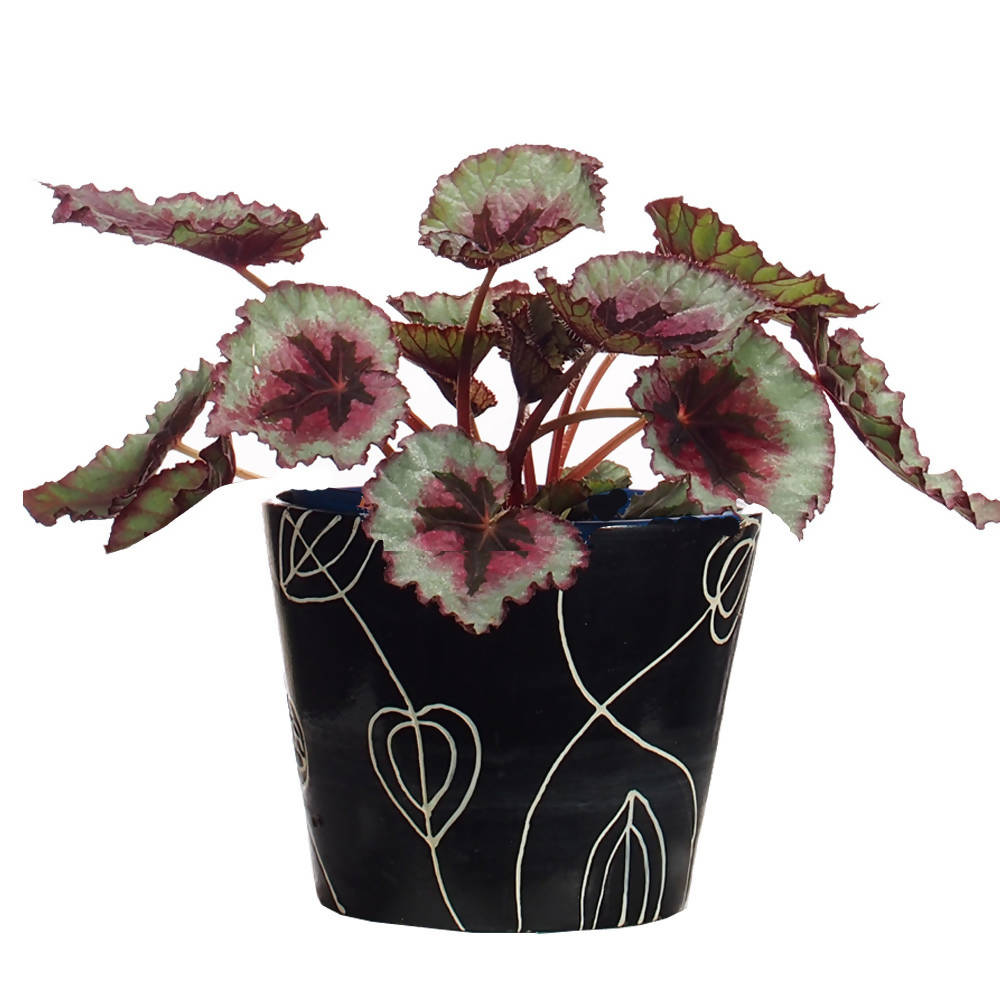 Begonia Plant in ceramic pot