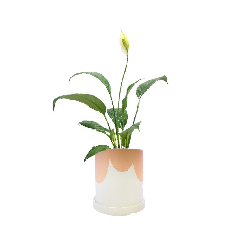 Peace Lily in Kola Planter in Pink Top