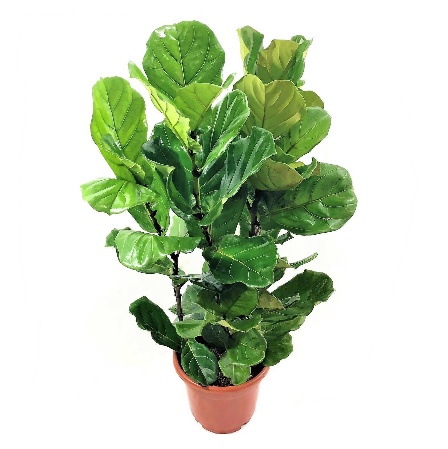 Ficus lyrata, Fiddle Leaf Fig (1m)