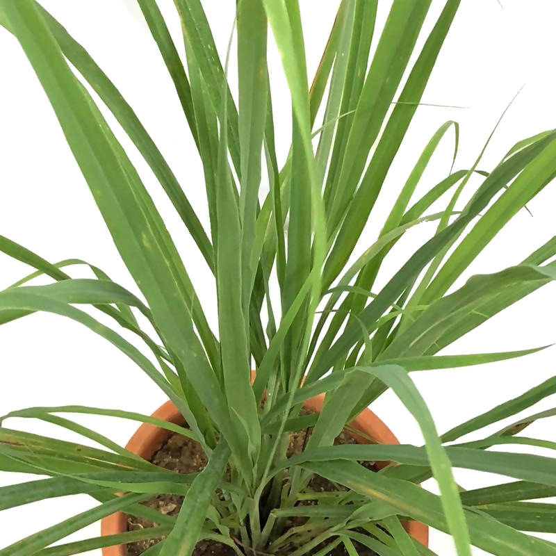 Cymbopogon citratus, West Indian Lemon Grass, Fever Grass, Lemongrass (0.7m)