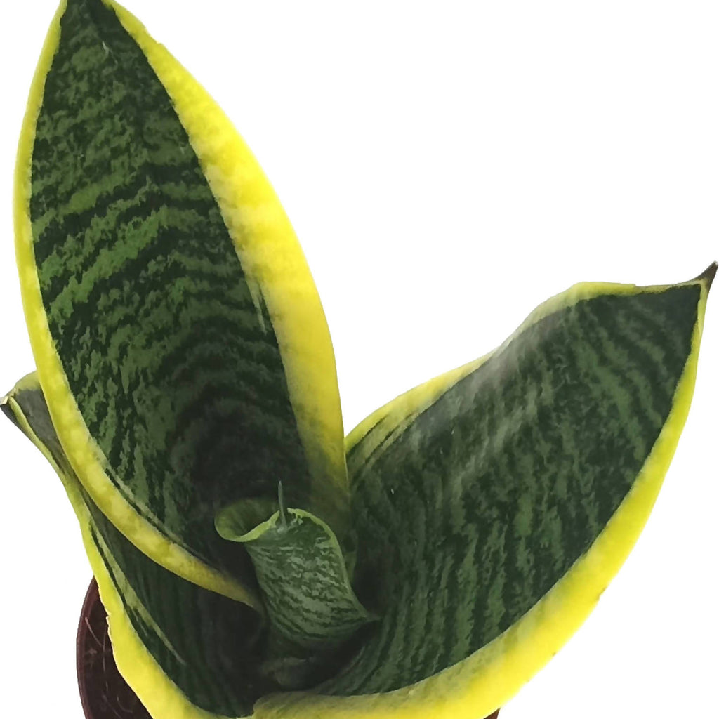 Sansevieria trifasciata, Mother-in-Law's Tongue (0.30m)