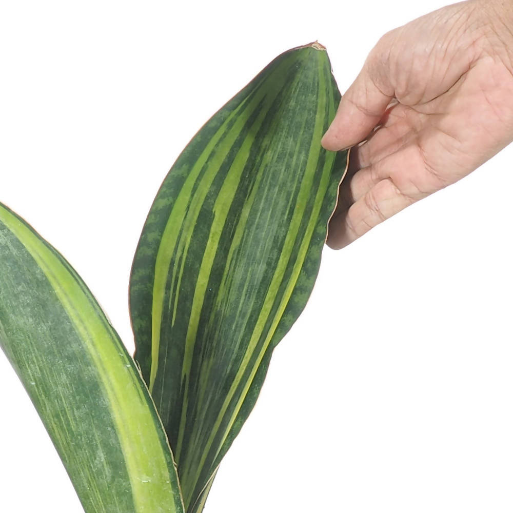 Sansevieria 'Masoniana Variegata', Variegated Whale Fin in Ceramic Pot