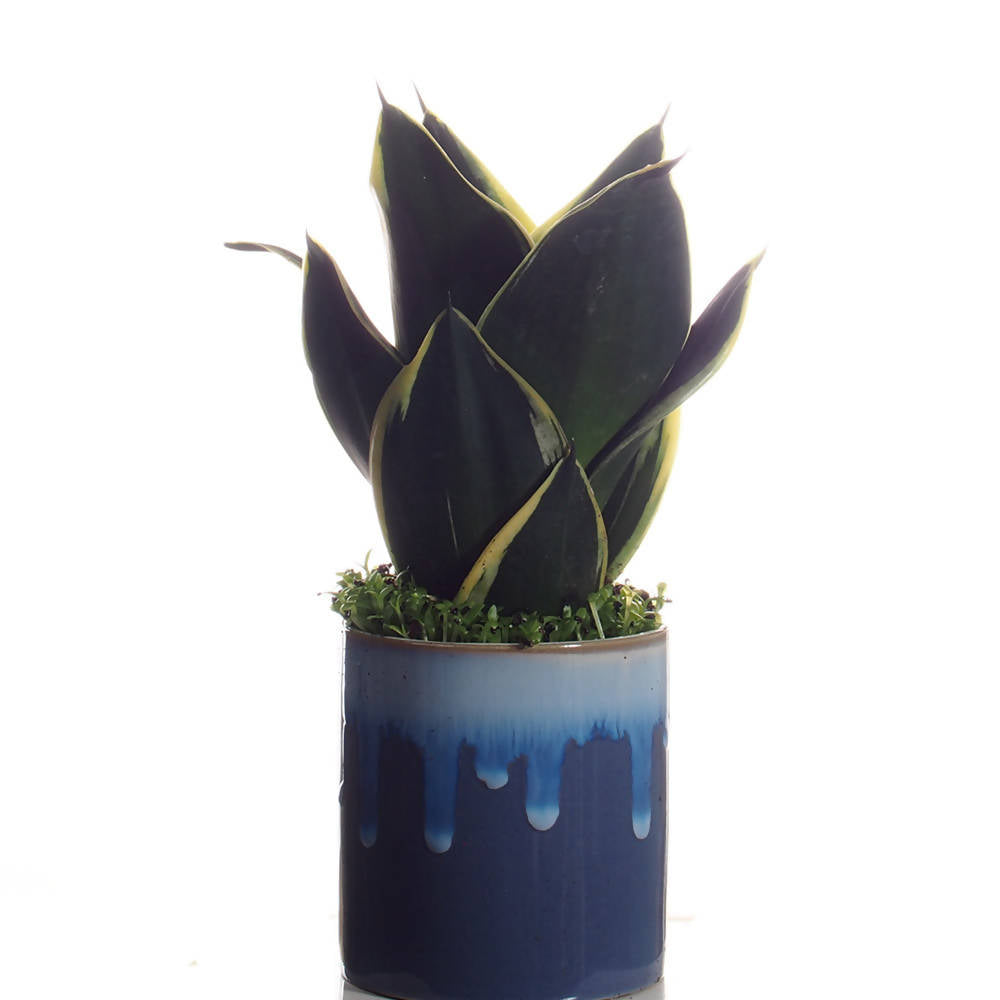 Sanseveria trifasciata with mini succulent in ceramic pot