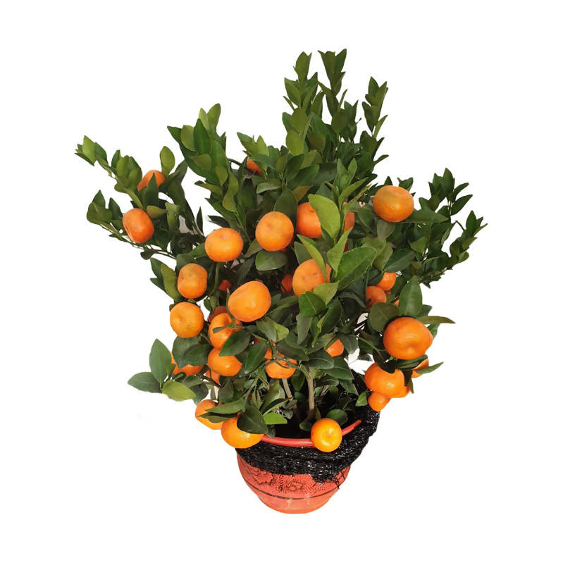 Citrus reticulata, Mandarin Orange in Red Ceramic Pot