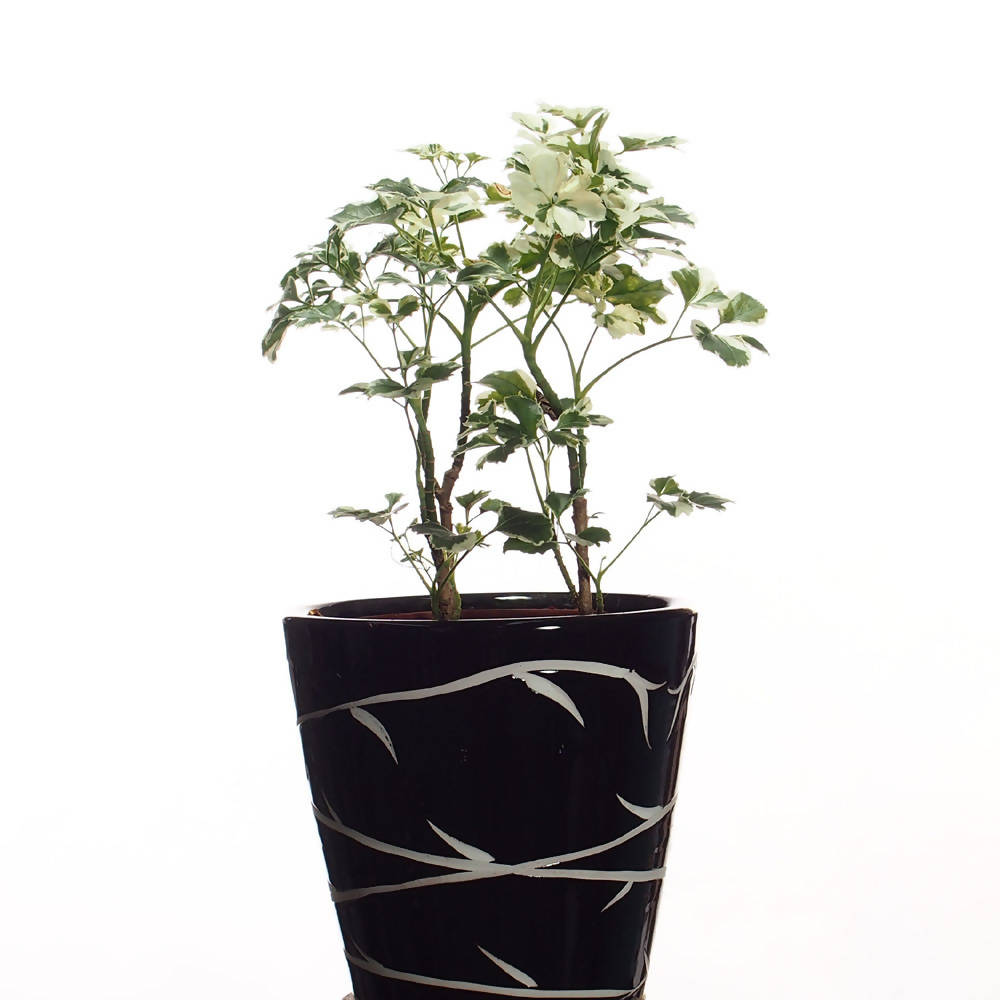 Polyscias guilfoylei, Geranium-Leaf Aralia in black ceramic pot