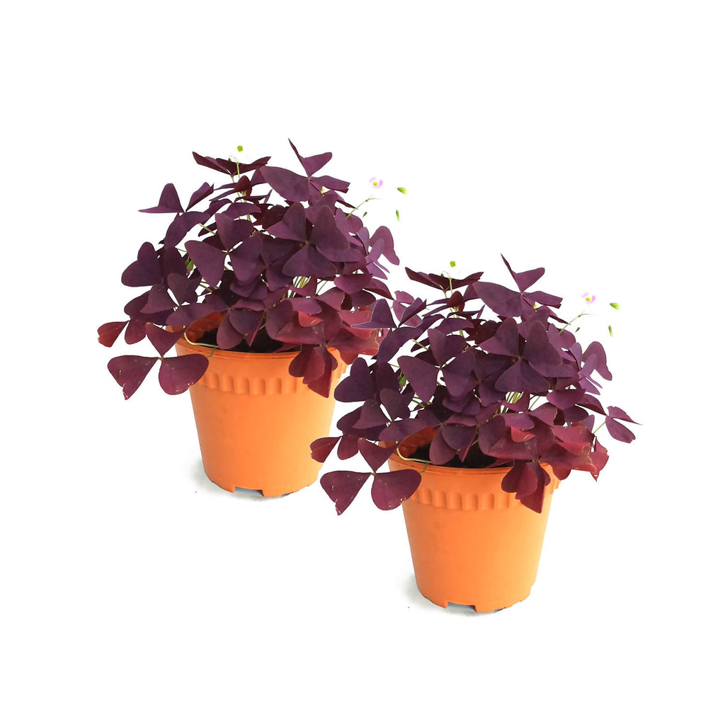 Oxalis Bundle, Set of 2 (Value Set)
