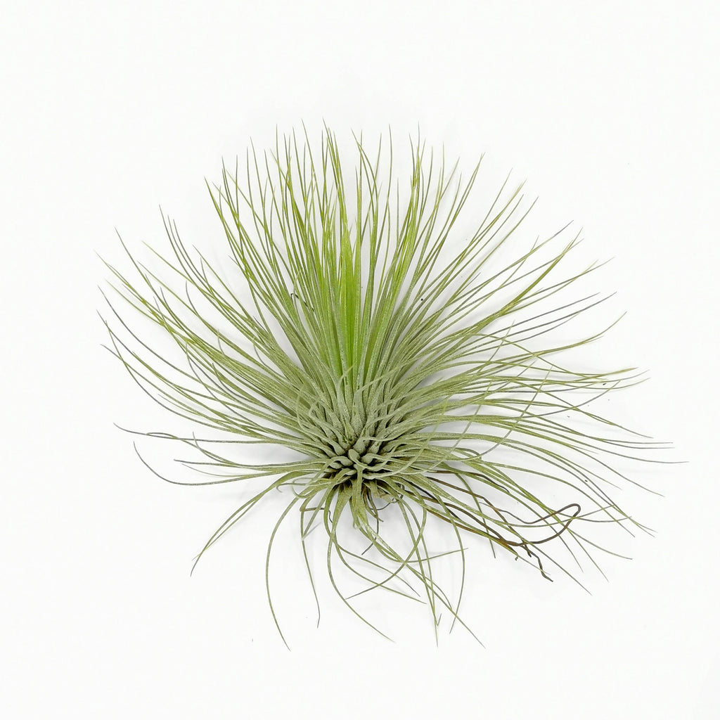Air Plant Tillandsia andreana Big