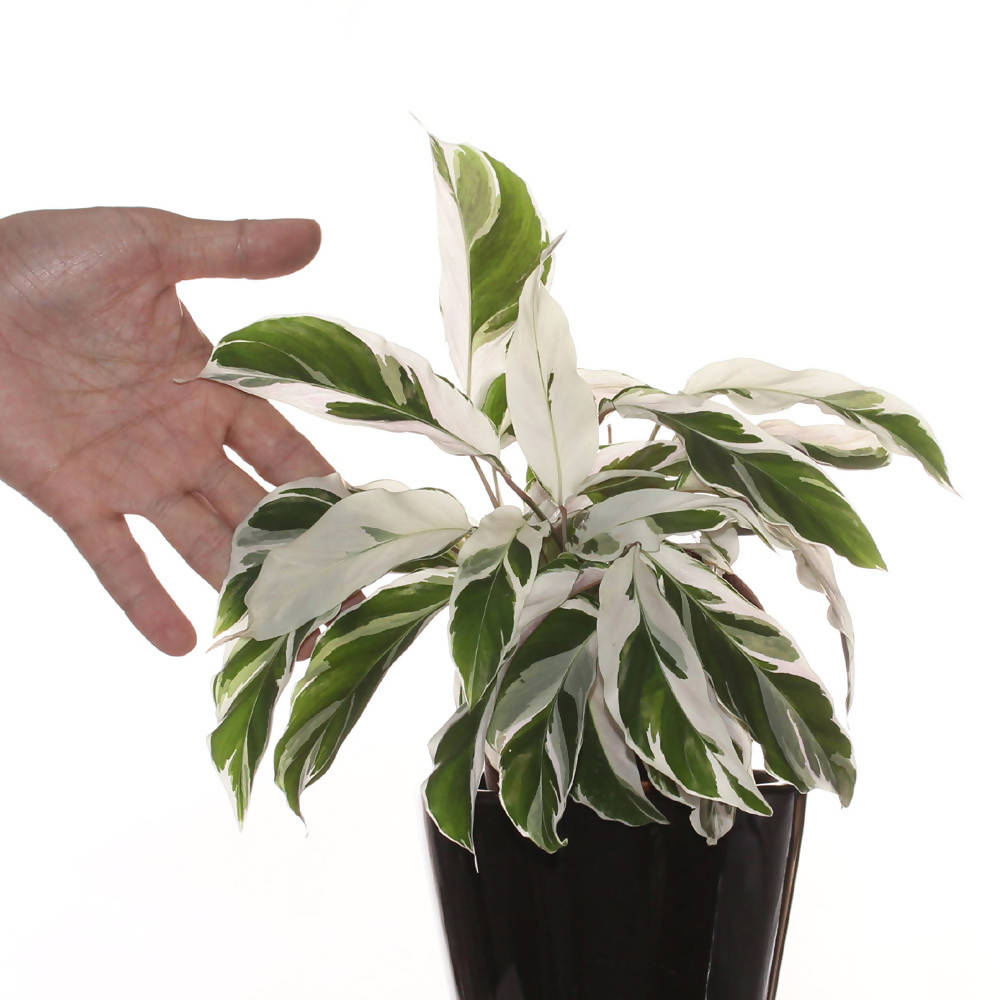 Calathea White Fusion in ceramic pot