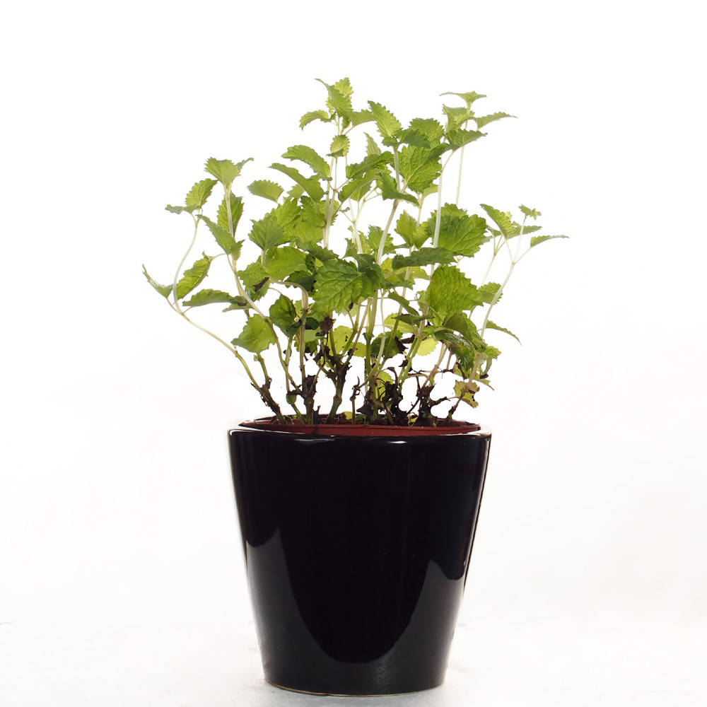 Mentha, Mint in ceramic pot