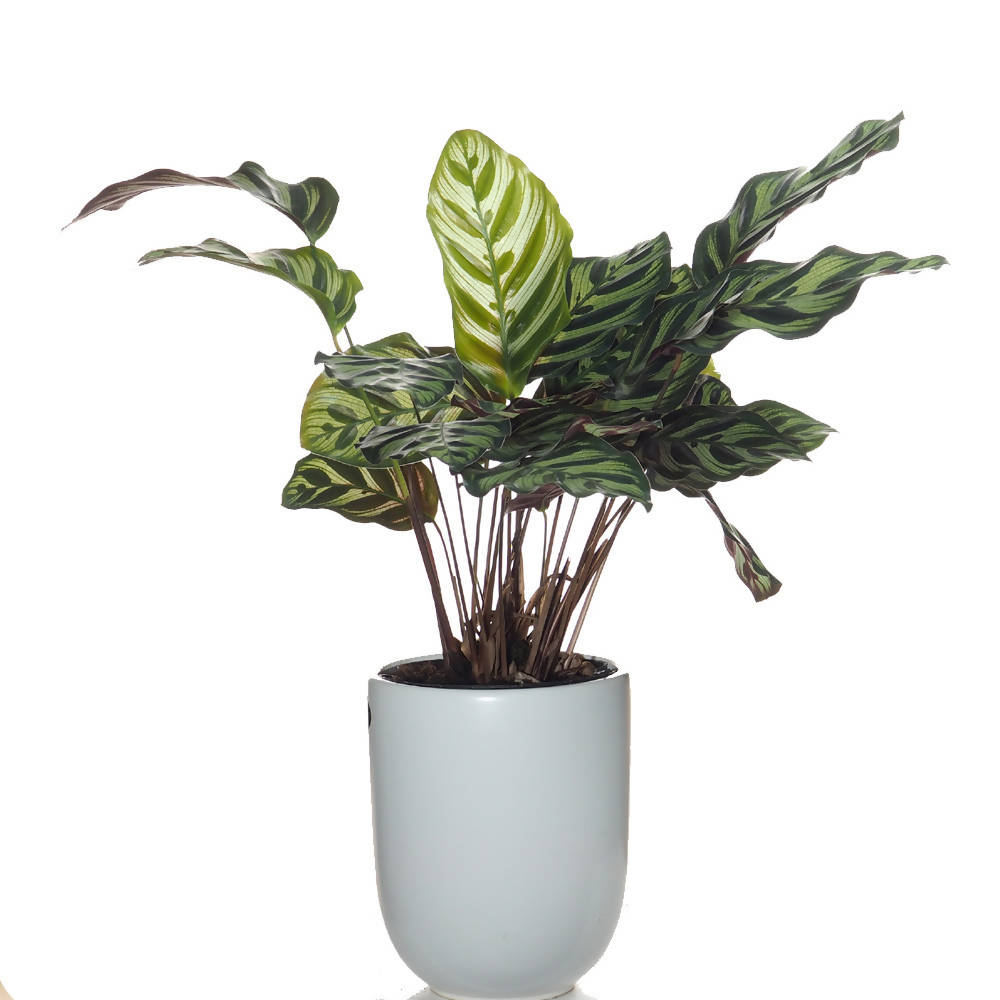 Calathea makoyana in Elegant Matt White Pot