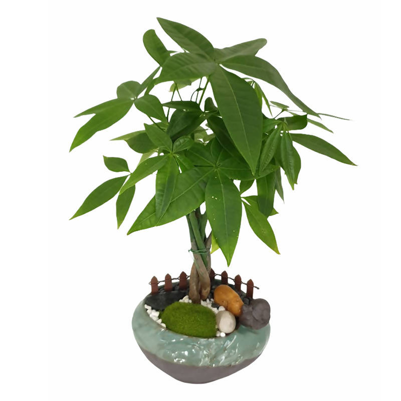 Pachira, Mini Bonsai (0.3m)