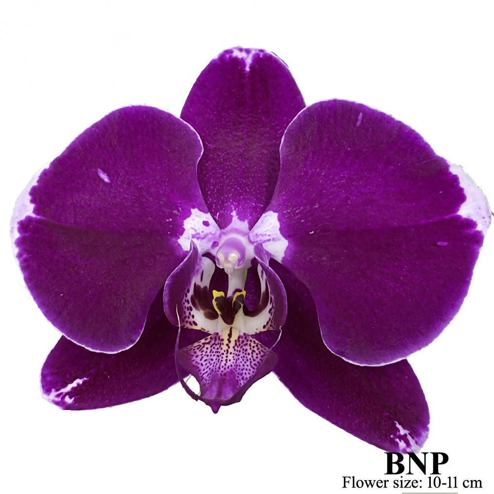 10 in 1 Phalaenopsis BNP with pot
