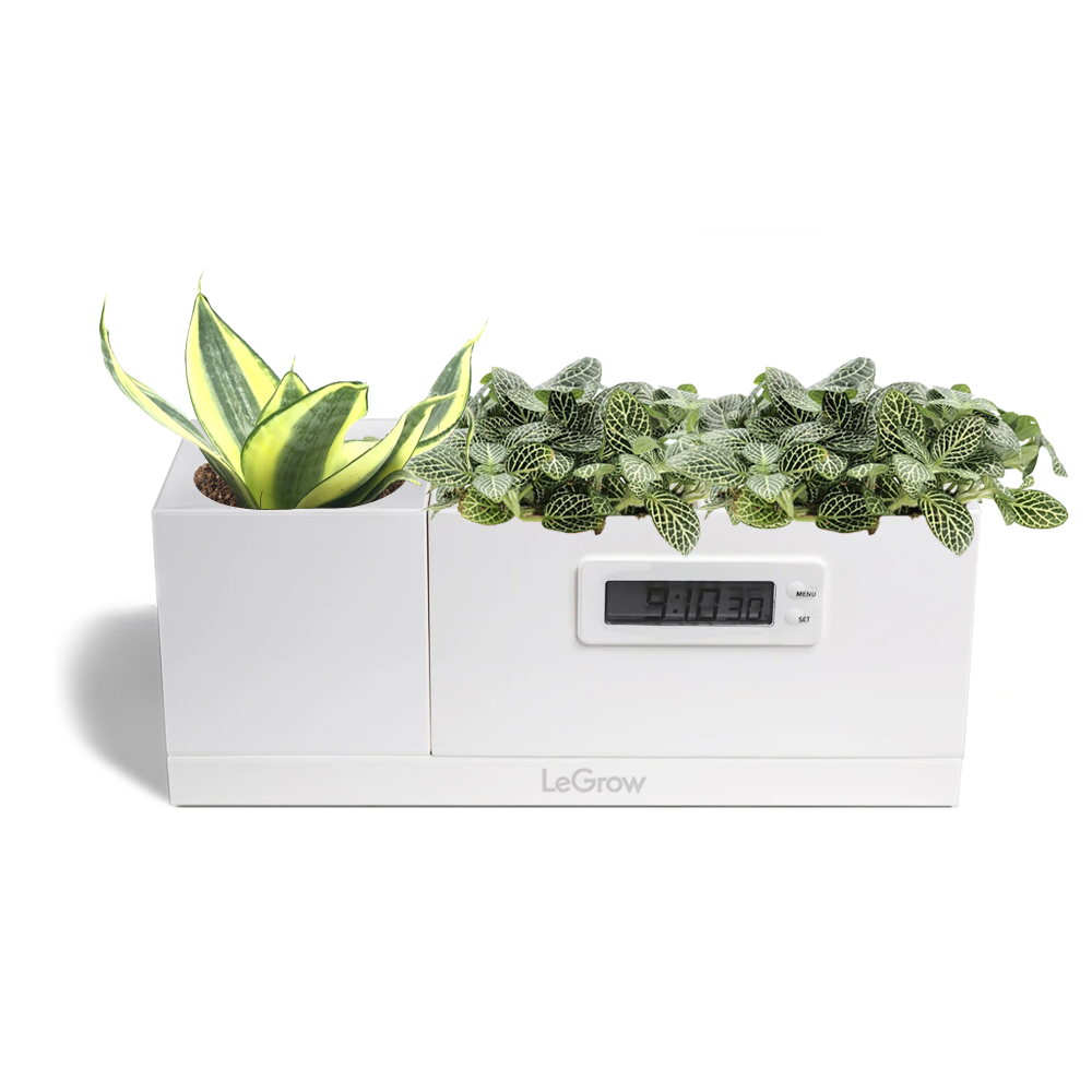 LeGrow Clock and Standard LeGrow with Fittonia, Sansevieria
