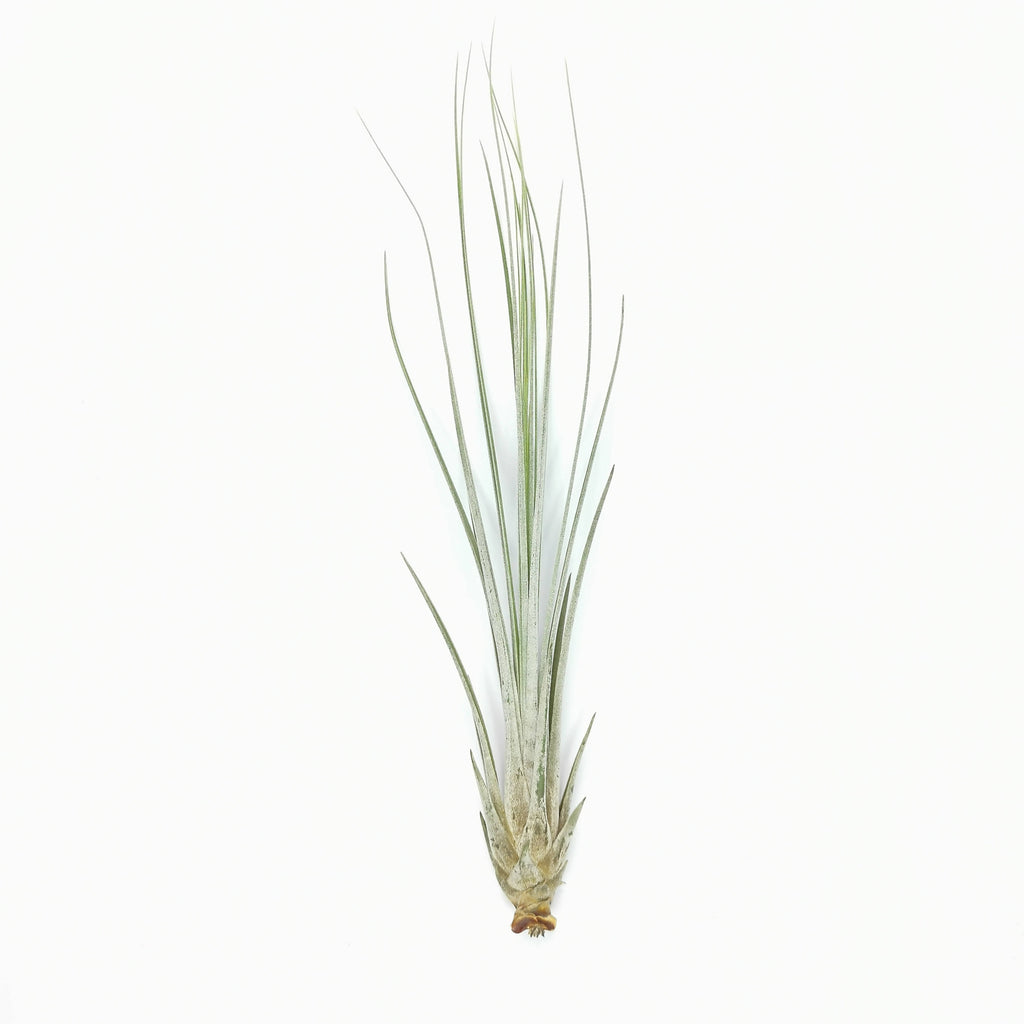 Air Plant Tillandsia juncea